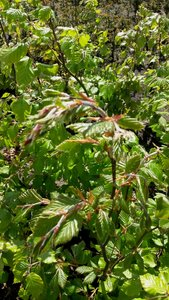 fagus sylvatica 40-60cm